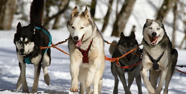 husky_dogs_manchester_mind_norway_sweden_trek_manchester_mancunian_matters
