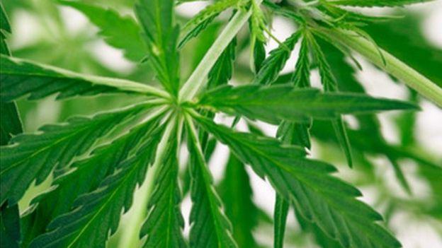 cannabis_plant-spl
